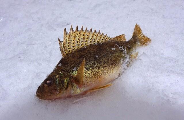 Маленькая рыбка ерш. Но зато какая из него уха)))