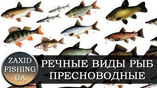ПРЕСНОВОДНЫЕ РЕЧНЫЕ ВИДЫ РЫБЫ (Прісноводні річкові риби) ФОТО