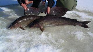 Хариус 1 кг. Зимняя рыбалка на реке Унья winter fishing